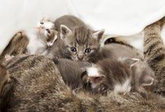 Bebés de los gatos amamantados Fotos de archivo libres de regalías