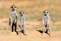 Bebés de Meerkat Imagen de archivo libre de regalías