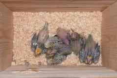 Bebés del Cockatiel Foto de archivo