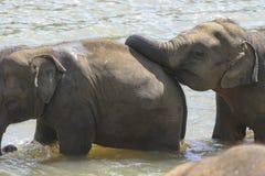 Bebés del elefante Fotografía de archivo