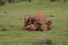 Bebés del elefante Foto de archivo