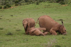 Bebés del elefante Imágenes de archivo libres de regalías
