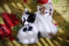Bebés del gato Imagen de archivo libre de regalías