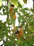 Bebés del mono de ardilla en el árbol, carate, dulce del golfo, Costa Rica Fotografía de archivo