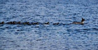 Bebés del pato de la familia del pato que nadan imagen de archivo