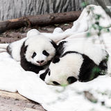 Bebés del pequeño panda Foto de archivo