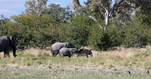 Bebés salvajes del elefante africano en Botswana, África metrajes