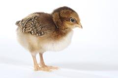 Bebê adorável Chick Chicken no fundo branco imagem de stock