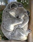 Bebê adulto fêmea da terra arrendada do urso de koala, Austrália Imagens de Stock