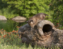 Bebê Bobcat Climbing no log Imagens de Stock