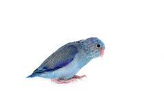 Bebê bonito Parrotlet pacífico, coelestis de Forpus, empoleirados contra Foto de Stock Royalty Free