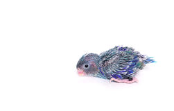 Bebê bonito Parrotlet pacífico (15 dias velho), coelestis de Forpus Fotografia de Stock Royalty Free