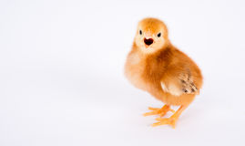 Bebê Chick Newborn Farm Chicken Standing Rhode Island Red Fotografia de Stock