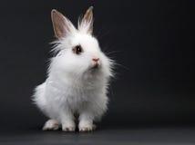 Bebê-coelho doméstico branco imagem de stock
