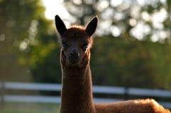 Bebê da alpaca Fotos de Stock