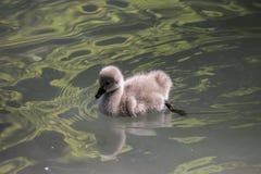 Bebê da cisne preta Fotografia de Stock