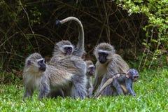 Bebê da mãe dos macacos de Vervet Fotos de Stock Royalty Free
