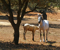 Bebê da sugação do cavalo de sua mãe, a égua Fotografia de Stock Royalty Free