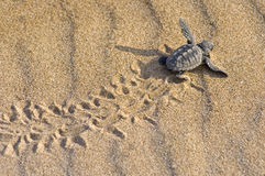 Bebê da tartaruga da boba (caretta do Caretta) Imagem de Stock Royalty Free