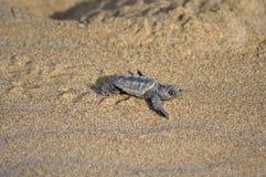 Bebê da tartaruga da boba (caretta do Caretta) Imagem de Stock