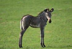 Bebê da zebra imagens de stock royalty free
