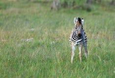 Bebê da zebra imagem de stock royalty free