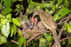Bebê de alimentação da mãe do pássaro na natureza da floresta imagem de stock