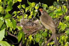 Bebê de alimentação da mãe do pássaro na natureza da floresta imagens de stock