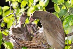 Bebê de alimentação da mãe do pássaro na natureza da floresta fotos de stock royalty free
