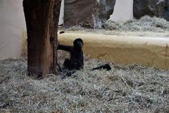 Bebê de cabeça negra do macaco de aranha que senta-se na palha imagens de stock royalty free