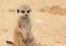 Bebê de Meerkat Imagem de Stock Royalty Free