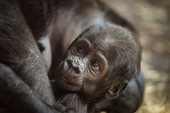 Bebê de um gorila de planície ocidental imagens de stock royalty free