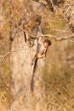 Bebê do babuíno Imagem de Stock