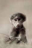 Bebê do babuíno Fotografia de Stock Royalty Free