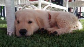 Bebê do cão Fotografia de Stock