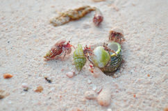 Bebê do caranguejo Foto de Stock