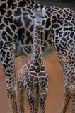 Bebê do Giraffe Foto de Stock