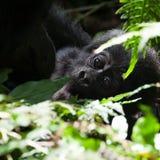 Bebê do gorila imagem de stock royalty free
