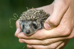 Bebê do Hedgehog Fotos de Stock Royalty Free