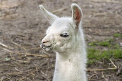 Bebê do lama (glama da Lama) Imagens de Stock Royalty Free