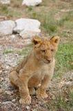Bebê do leão Foto de Stock