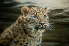 bebê do leopardo de amur Fotografia de Stock