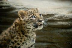 bebê do leopardo de amur Fotos de Stock