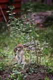 Bebê do macaco de hussardo fotos de stock royalty free