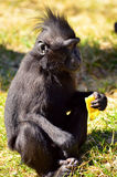 Bebê do negro do Macaca Imagem de Stock