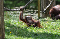 Bebê do orangotango Foto de Stock