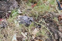 Bebê do pombo deixado cair do ninho imagens de stock royalty free