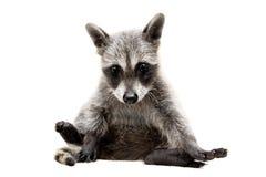 Bebê do Raccoon imagens de stock royalty free