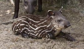 Bebê do tapir Imagem de Stock Royalty Free