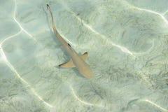 Bebê do tubarão Imagens de Stock Royalty Free